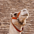 Giza Camel — Stock Photo