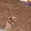 Camel and Giza Pyramids — Stock Photo