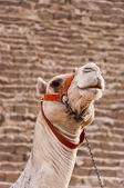 Giza Camel — Stock Photo