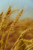Golden Ripe Wheat — Stock Photo
