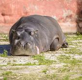 Large Hippo Resting Under Sunlight — Stock Photo