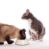 Cat with feeding bowl — Stock Photo