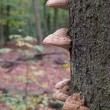 Tinder fungus — Stock Photo