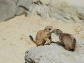 European ground squirrel — Stock Photo