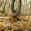 Mushroom in pine forest — Foto Stock #14068444