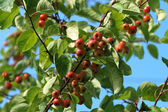 Branch of a crab apple tree — Stock Photo