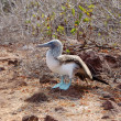 Stock Photo: Blue-footed booby
