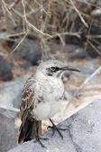 Mockingbird on a rock — Stock Photo