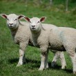 Stock Photo: Identical twin lambs standing together