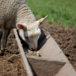 Lamb eating from a trough — Stock Photo