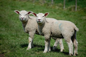 Identical twin lambs standing together — Stock Photo