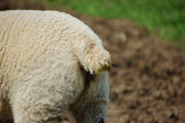 Lamb's tail — Stock Photo