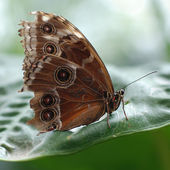 Butterfly with closed wings — Stock Photo