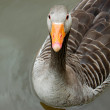 Greylag goose floating calmly on still waters - Stock Photo