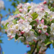 ������, ������: Closeup of a cluster of crab apple blossom