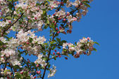 Crab apple tree blossoming in spring — Stock Photo