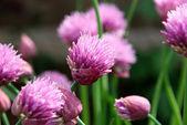 Rosa gräslök blommor öppna — Stockfoto