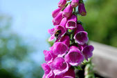 Bumble bee on a foxglove flower — Stock Photo