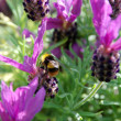 Bumble bee pollinates butterfly lavender flowers — Stock Photo #27433353