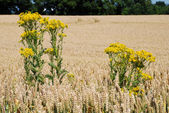 Ragwort in a field of wheat — Stock Photo