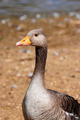 Greylag goose standing by the water — Stock Photo