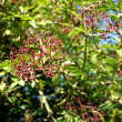 Elderberries growing on elder — Stock Photo #30514587