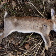 Dead wild rabbit — Stock Photo #30674569