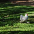 Stock Photo: Chicken with white plumage