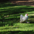 Chicken with white plumage — Stock Photo