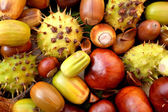 Acorns, conkers, horse chestnut cases and beechnuts — Stock Photo