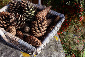 Closeup of basket of fir cones with red cotoneaster berries — Stock Photo