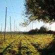 Empty hop garden after harvest — Stock Photo
