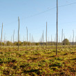 Autumn view of an empty hop garden after harvest — Stock Photo
