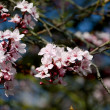 Cherry blossom blooms on the tree — Stock Photo #42273215