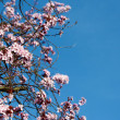 Pink cherry blossom against a blue sky — Stock Photo