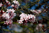 Cherry blossom blooms on the tree — Stock Photo