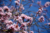 Pink blossom of an ornamental cherry tree — Stock Photo
