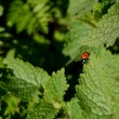 Ladybug on the edge of a nettle leaf — Stock Photo