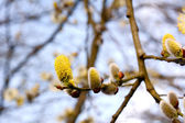 Yellow flowers of a catkin — ストック写真