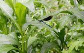 равнокрылые стрекозы блестящая красотка — Стоковое фото