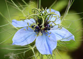 Nigella (Love in a Mist) flower  — Stock Photo
