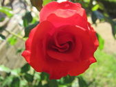 Una rosa, a rose — Stock Photo