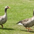 Stock Photo: 2 Geese