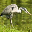 Stock Photo: Grey Heron