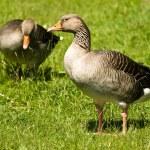 West Grey Goose — Stock Photo