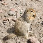 Squirrel (the Kamchatka gopher) — Stock Photo #16890737
