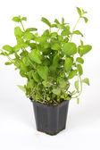 Mint herbs — Stock Photo