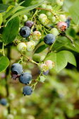 Bilberry — Stock Photo