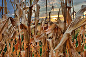 Sunset on the corn closeup — Stock fotografie