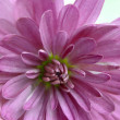 Macro of chrysanthemum flower head — Stock Photo